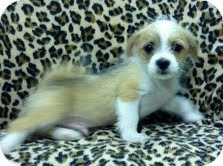 Shih Tzu/Pug Mix Puppy for adoption in Allentown, Pennsylvania - B.J.