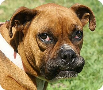 Boxer Mix Dog for adoption in Hagerstown, Maryland - Roxy *adopt fee $350