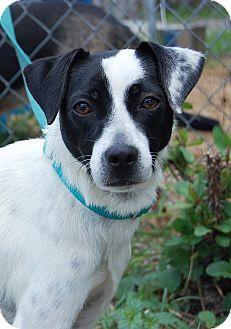 Rat Terrier Mix Dog for adoption in Bradenton, Florida - Spot