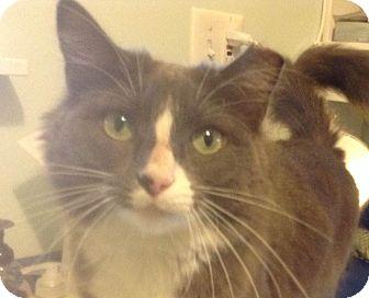 Domestic Mediumhair Cat for adoption in Brimfield, Massachusetts - Maebe