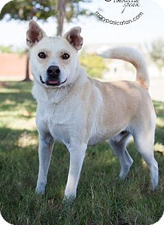 Basenji/Chow Chow Mix Dog for adoption in Cat Spring, Texas - Bolt