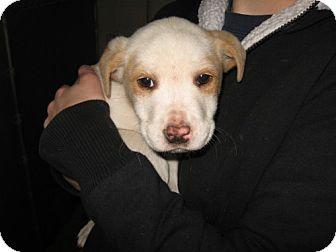 Carolina Dog Mix Puppy for adoption in Tyner, North Carolina - Johnny Be Good