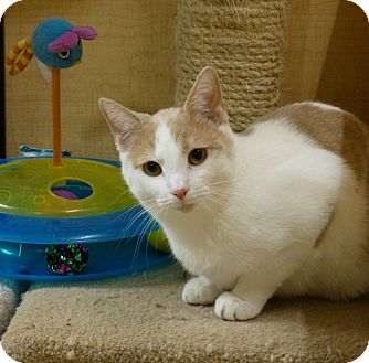 Domestic Shorthair Kitten for adoption in Carlisle, Pennsylvania - Daytona