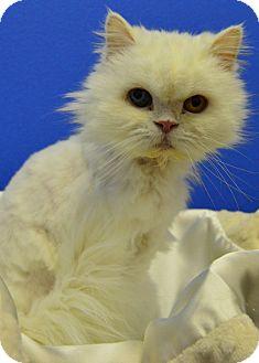 Persian Cat for adoption in Buena Vista, Colorado - Dutchess