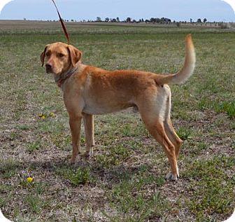 Labrador Retriever Mix Dog for adoption in Larned, Kansas - Tex