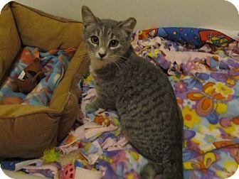 Domestic Shorthair Cat for adoption in Parkville, Missouri - Beanie