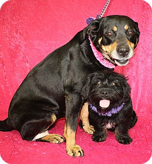 Rottweiler Mix Dog for adoption in Jackson, Michigan - Lola