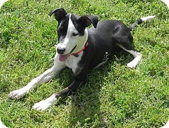 Labrador Retriever Mix Dog for adoption in Huntsville, Alabama - Patsy Cline