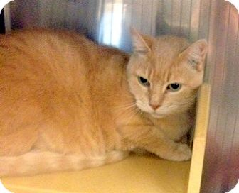 Domestic Shorthair Cat for adoption in San Leandro, California - Cinnamon