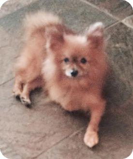 Pomeranian Mix Dog for adoption in East Hartford, Connecticut - Bill-pending adoption