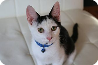 Domestic Shorthair Kitten for adoption in Greensboro, Georgia - Hender