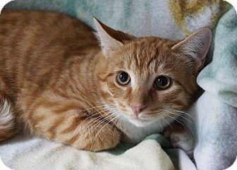 Domestic Shorthair Kitten for adoption in Berlin, Connecticut - Irish