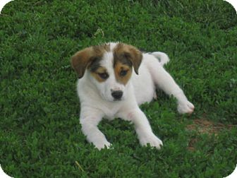 Terrier (Unknown Type, Medium) Mix Puppy for adoption in Great Falls, Montana - Quincy