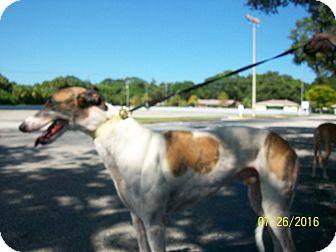 Greyhound Dog for adoption in Sarasota, Florida - Strong Tulip