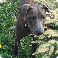 Adopt A Pet :: ROXANNE - Waterbury, CT