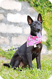Shepherd (Unknown Type)/Labrador Retriever Mix Puppy for adoption in Castro Valley, California - Britney