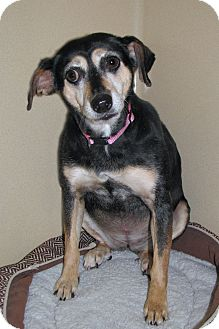 Miniature Pinscher/Terrier (Unknown Type, Small) Mix Dog for adoption in Ruidoso, New Mexico - Lilly