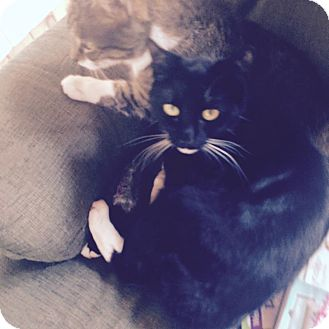 Domestic Shorthair Cat for adoption in Swansea, Massachusetts - Angel and Princess (BONDED MOT
