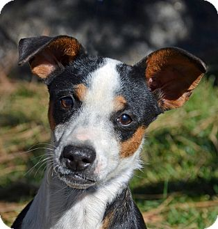 Jack Russell Terrier/Chihuahua Mix Dog for adoption in Mountain Center, California - Flower