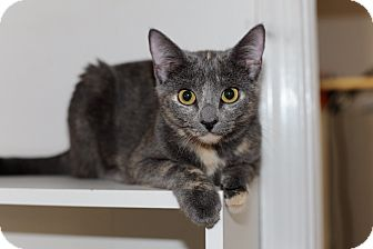 Domestic Shorthair Kitten for adoption in Richmond, Virginia - Gracie