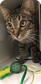Domestic Shorthair Cat for adoption in Greensboro, North Carolina - Olympe