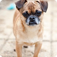 Boston Terrier/Pug Mix Dog for adoption in Alexandria, Virginia - Luke
