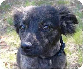 Affenpinscher/Papillon Mix Dog for adoption in Mocksville, North Carolina - Hayley