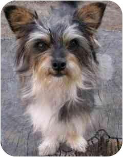 Yorkie, Yorkshire Terrier/Schnauzer (Miniature) Mix Dog for adoption in Orange, California - Greyson