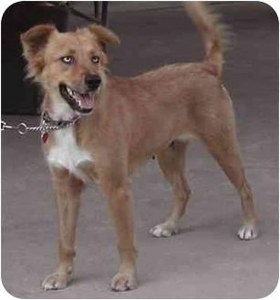 Australian Shepherd/Border Collie Mix Dog for adoption in Rolling Hills Estates, California - Eden