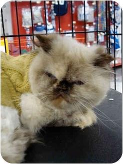Himalayan Cat for adoption in San Dimas, California - Sassy