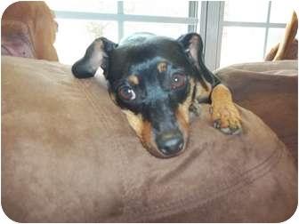 Miniature Pinscher Dog for adoption in Nashville, Tennessee - Minka