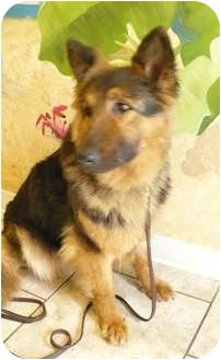 German Shepherd Dog Dog for adoption in Evergreen Park, Illinois - Cookie