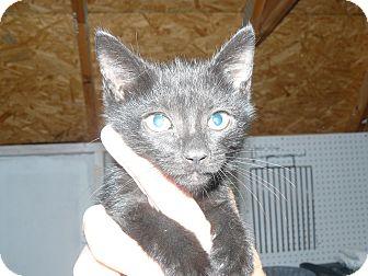 Domestic Shorthair Kitten for adoption in Island Park, New York - Blackie