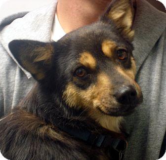 Corgi Mix Dog for adoption in Greencastle, North Carolina - Julie