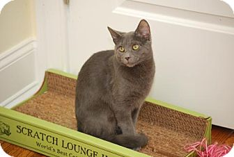 Russian Blue Cat for adoption in Trevose, Pennsylvania - Secret