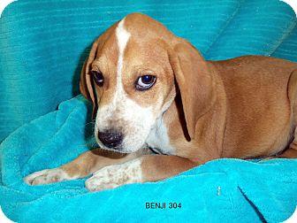 Hound (Unknown Type) Mix Puppy for adoption in Waldorf, Maryland - Benji #304