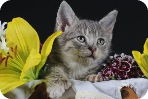 Hemingway/Polydactyl Kitten for adoption in Wayne, New Jersey - Mike & The Mechanics