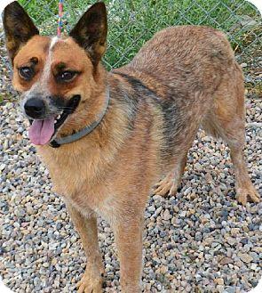 Australian Cattle Dog Mix Dog for adoption in Fruit Heights, Utah - Fawks
