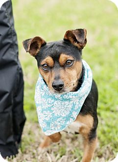 Terrier (Unknown Type, Small) Mix Dog for adoption in Portsmouth, Rhode Island - Roger