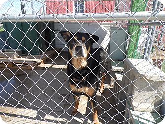 Rottweiler Mix Dog for adoption in winchester, Indiana - Christy