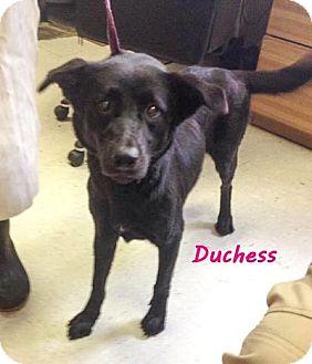 Labrador Retriever Mix Dog for adoption in Evergreen, Colorado - Rizzoli