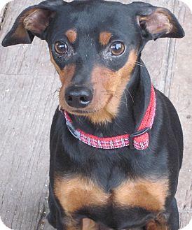 Miniature Pinscher Dog for adoption in Denver, Colorado - Ace