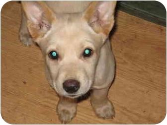 Corgi/American Eskimo Dog Mix Puppy for adoption in all of, Connecticut - Snowball
