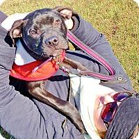 Adopt A Pet :: Raison - Reisterstown, MD
