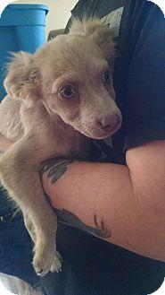 Spaniel (Unknown Type) Mix Puppy for adoption in edison, New Jersey - Allie