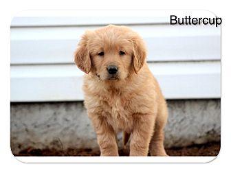 Golden Retriever Puppy for adoption in Auburn, California - Buttercup