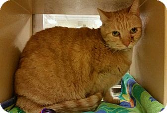 Domestic Shorthair Cat for adoption in North Haven, Connecticut - Prissy