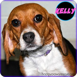 Beagle Dog for adoption in South Plainfield, New Jersey - Kelly Kapowski