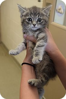 Domestic Mediumhair Kitten for adoption in Bucyrus, Ohio - Pipsqueak
