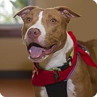 Adopt A Pet :: Schotzy - Baton Rouge, LA